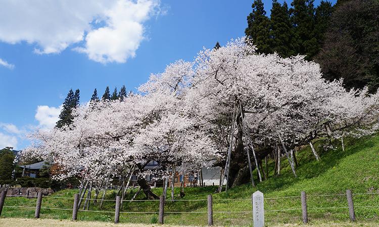 樹齢1,100年!岐阜県の臥龍桜。花見にかこつけて昼間っから飲み食いしてきました。